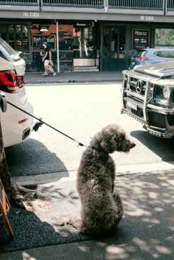 gray dog on leash